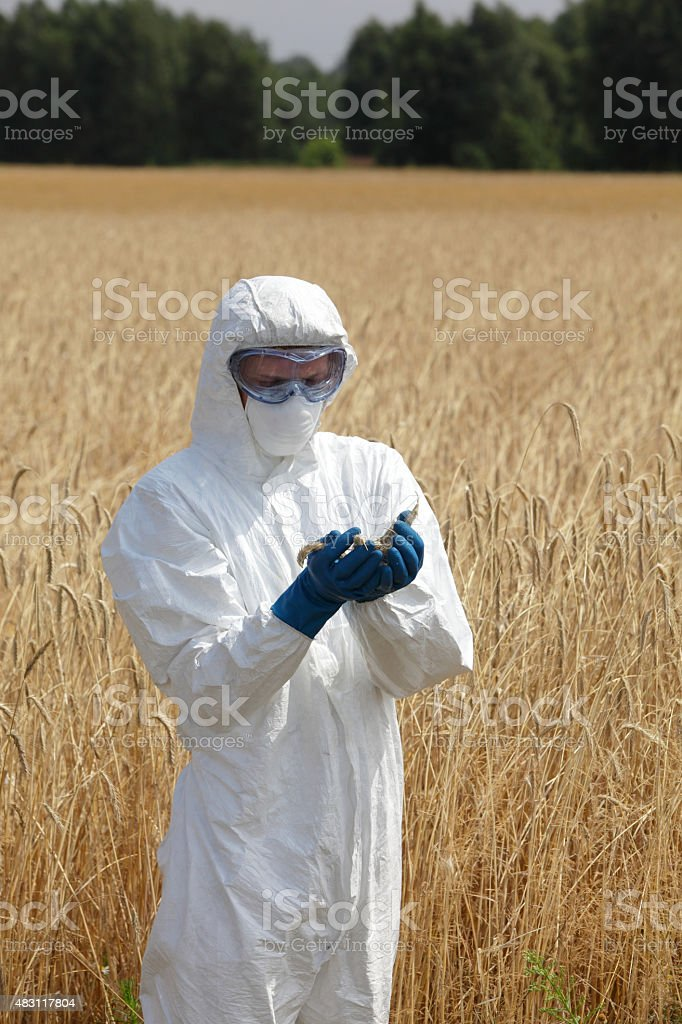 Biotechnology Engineer On Field Examining Ripe Ears Of ...
