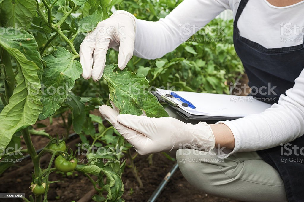 Biotechnology woman engineer examining a plant leaf for disease! royalty-free stock photo