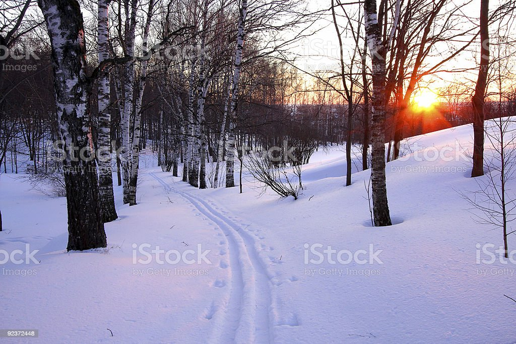 Birch alley at sunset royalty-free stock photo