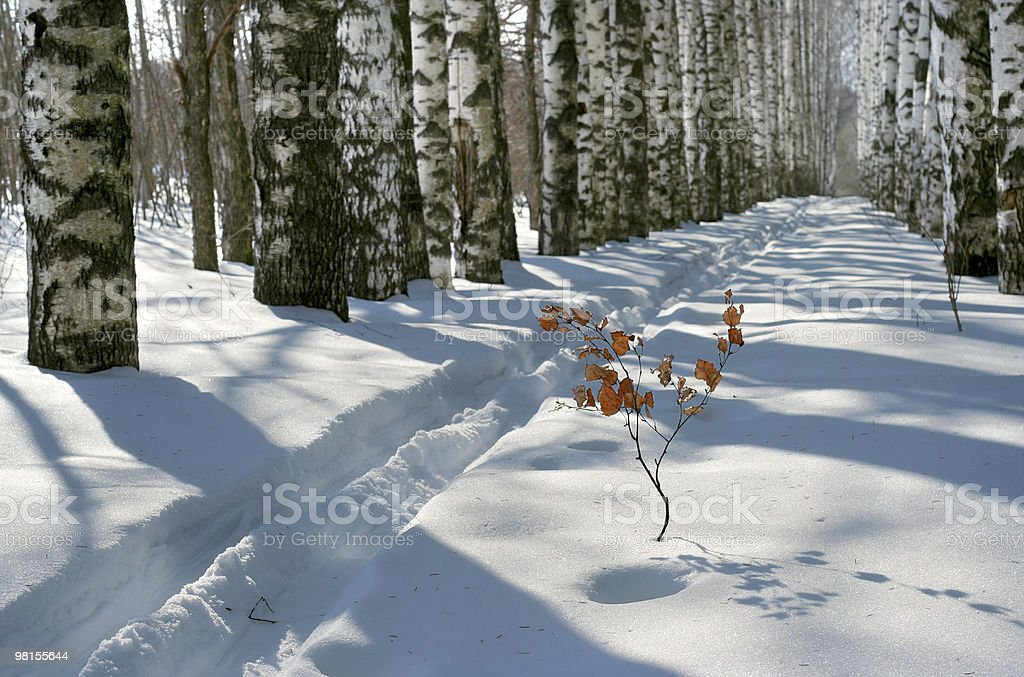 Vicolo di inverno Betulla foto stock royalty-free