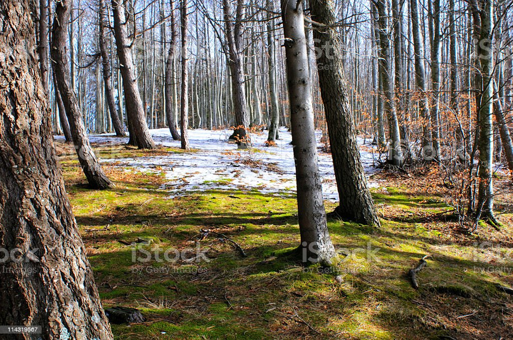 Birch and Beech royalty-free stock photo