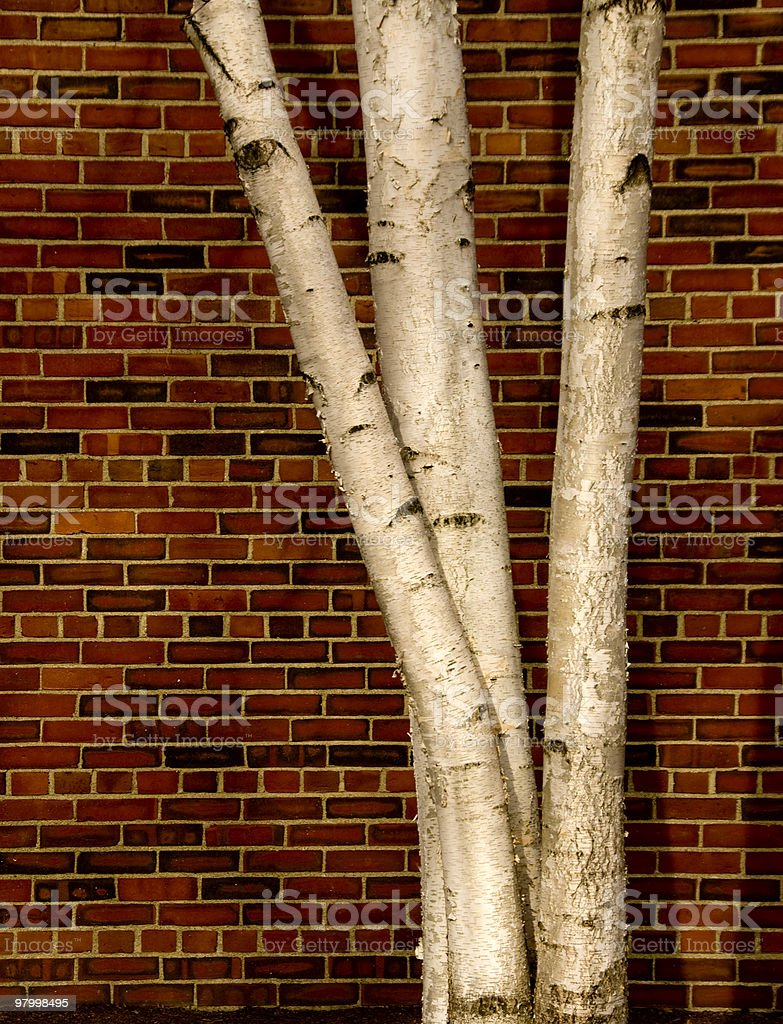 Birch and Brick royalty free stockfoto