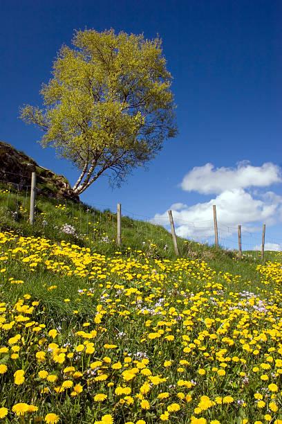 Birch and dandelions stock photo