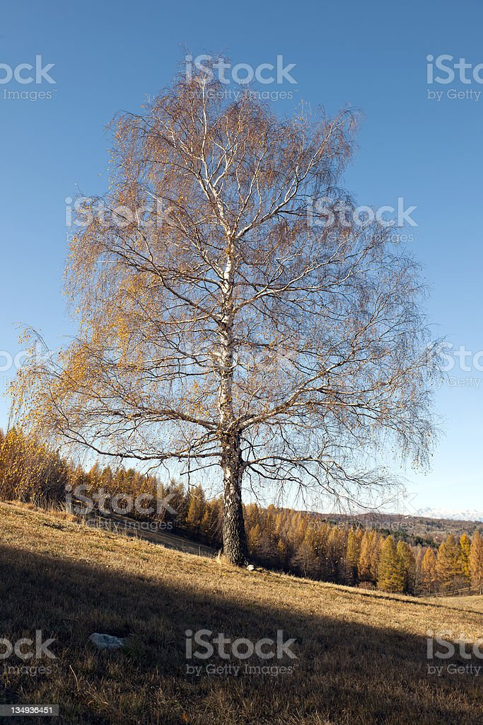 Birch and Larches in Autumn Julian Alps royalty-free stock photo