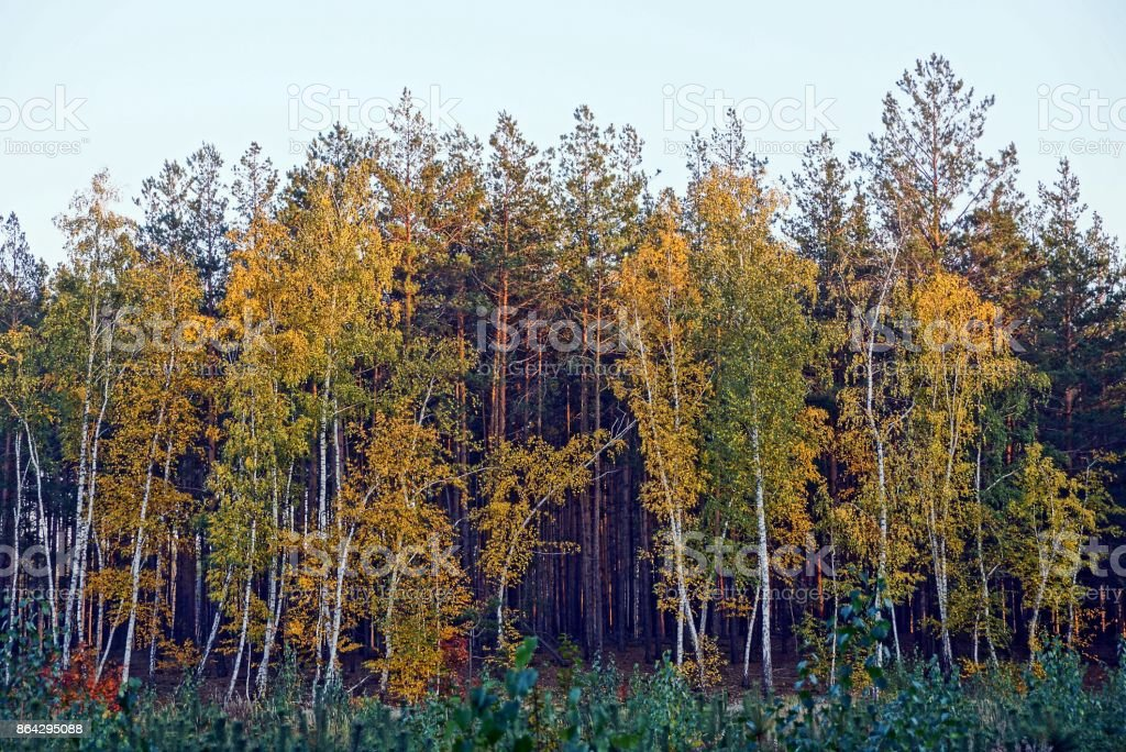 Birch and pine on the edge of the autumn forest royalty-free stock photo