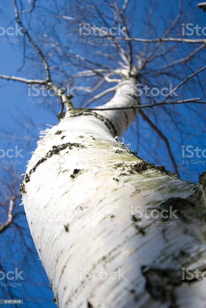 Birch and sky royalty-free stock photo