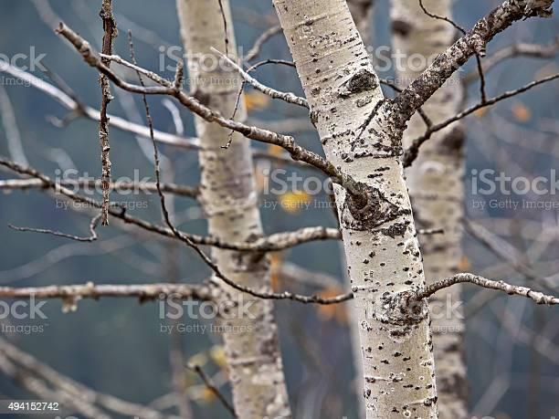 Photo of Birch bark, Birkenrinde (genus Betula)
