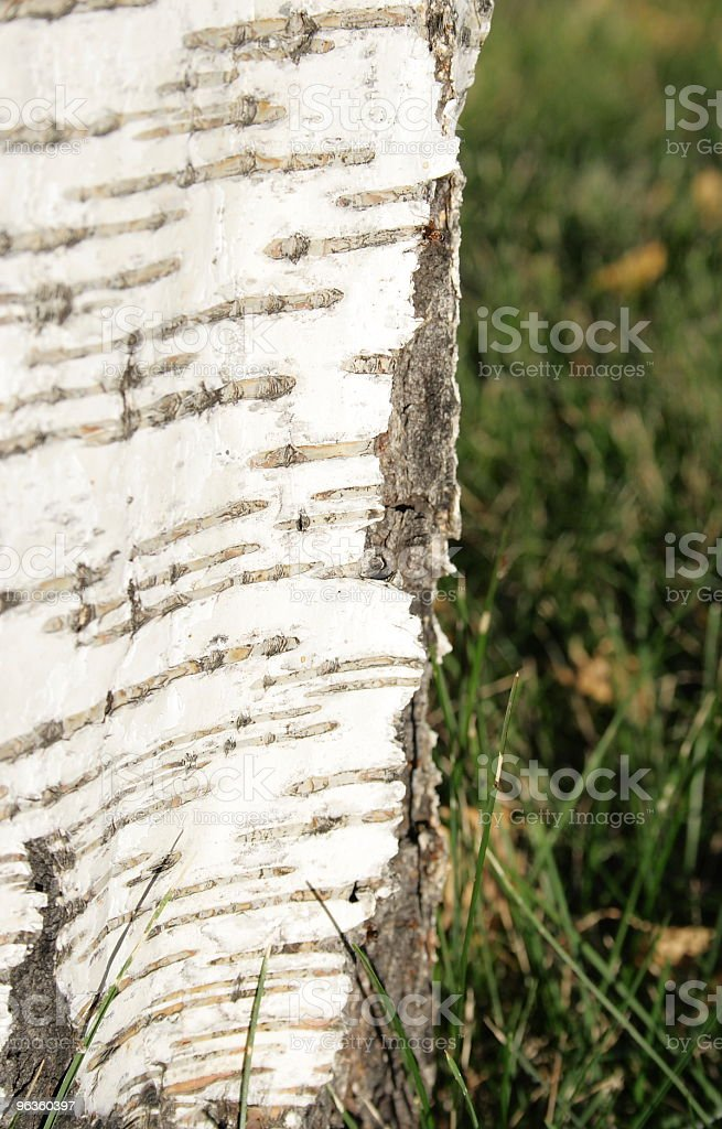 birch bark close with ant climbing royalty-free stock photo