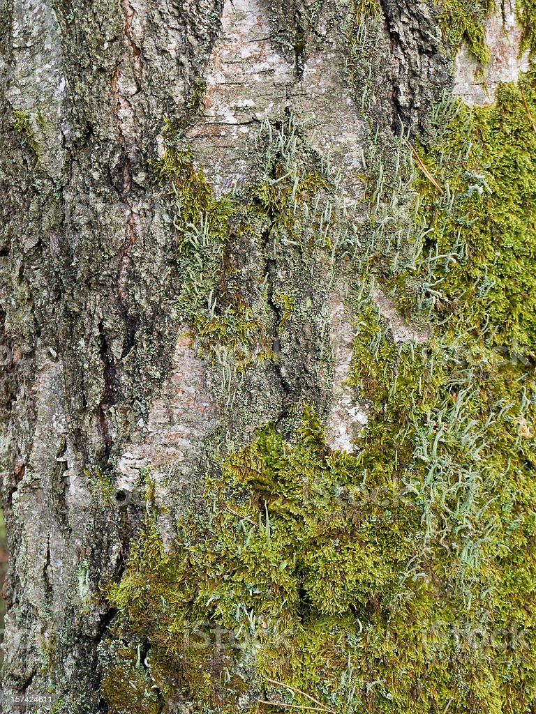 Birch bark royalty-free stock photo