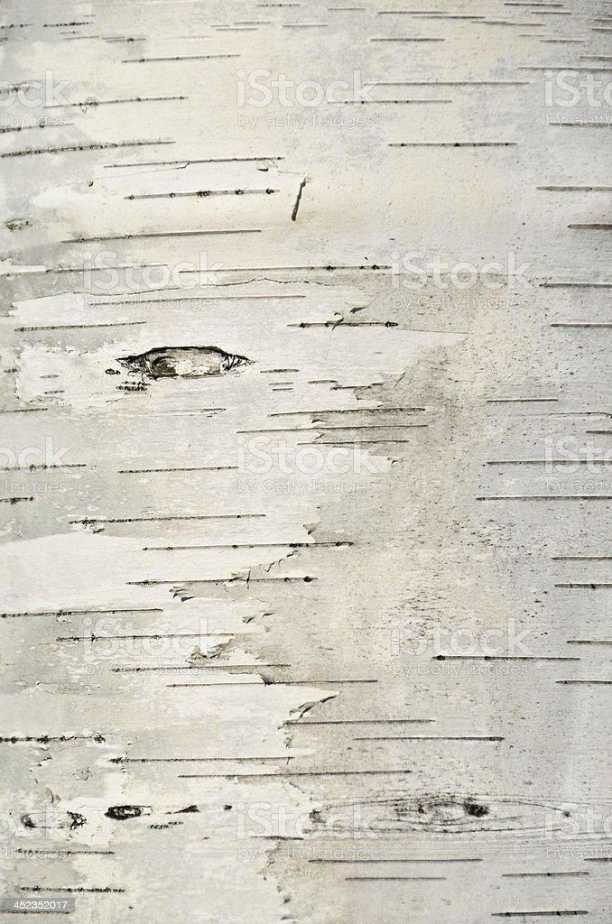 Birch de corteza - foto de stock