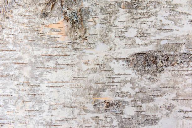 Birch bark stock photo