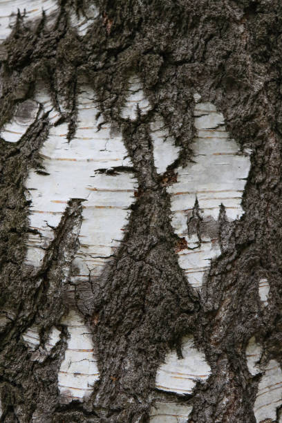Birch bark texture background. stock photo