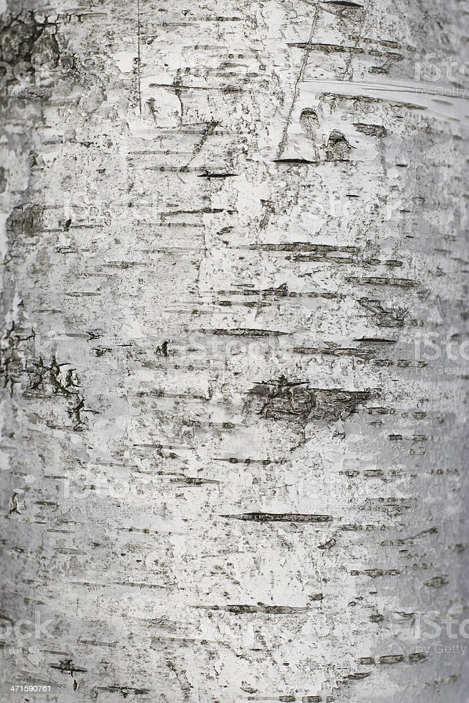 Birch bark texture royalty-free stock photo