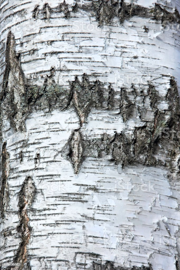 Birch Bark Texture. royalty-free stock photo
