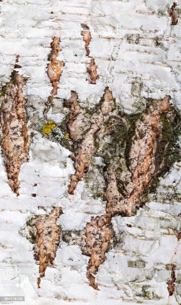 Birch Bark Texture royalty-free stock photo