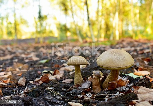 Birch bolete. Edible brown cap boletus among the grass and moss in autumn forest. Awesome fungus Aspen Mushroom against the background of green vegetation. Rough-stemmed bolete grows in in wildlife