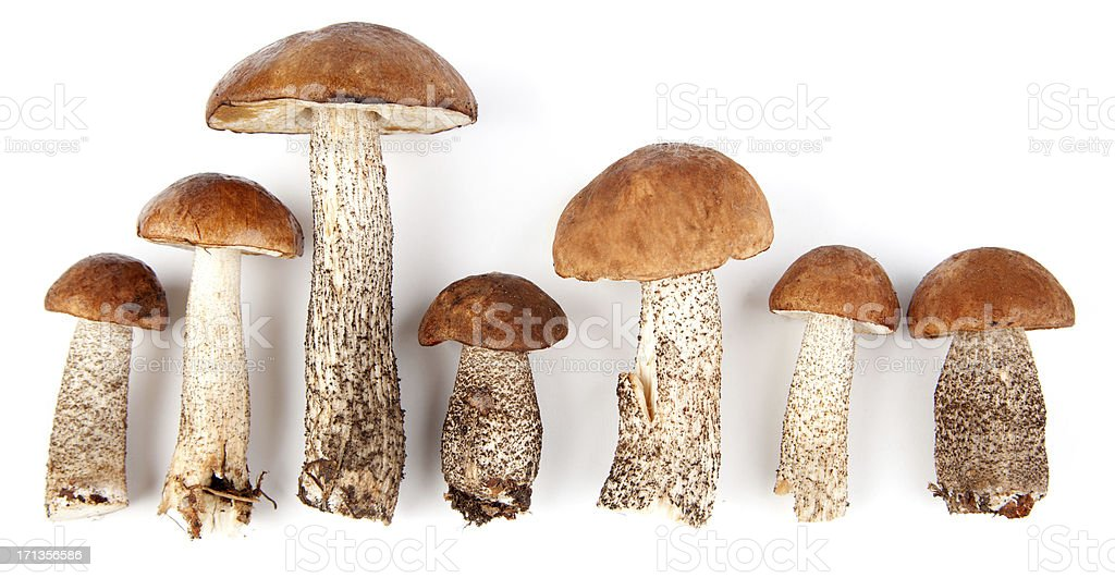 Birch bolete mushrooms stock photo