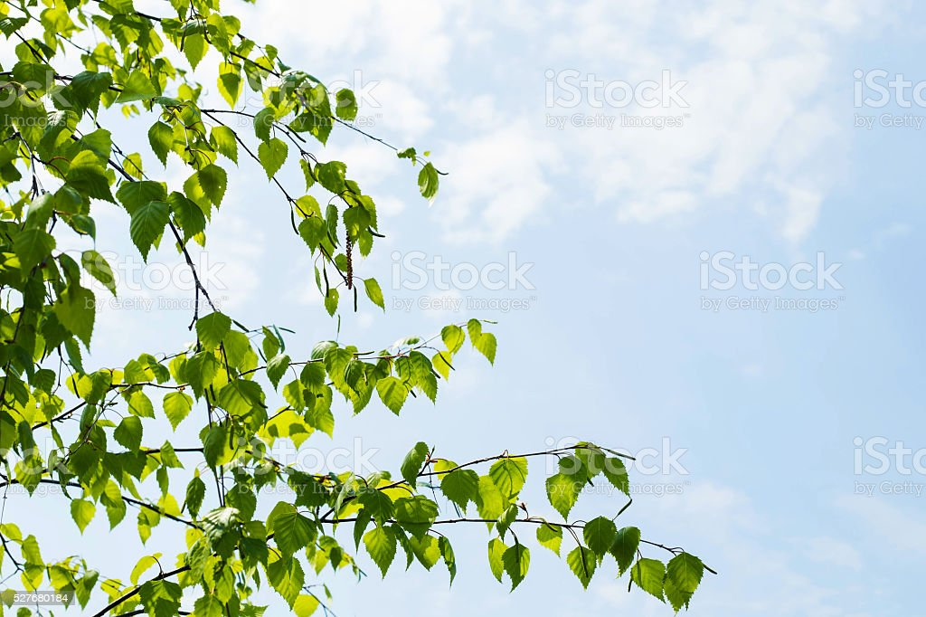 birch branch with young leaves stock photo