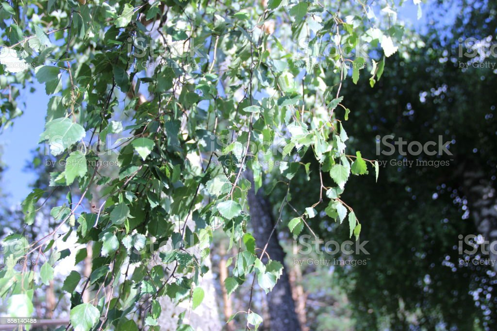 Birch branches illuminated by the sun. stock photo