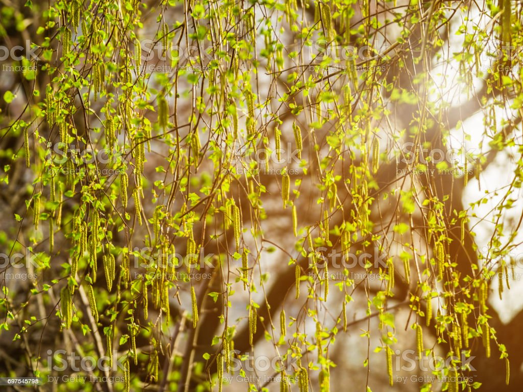 Birch branches with catkins. Spring blossom tree birch with young green leaves on twigs. Beginning of new life. stock photo