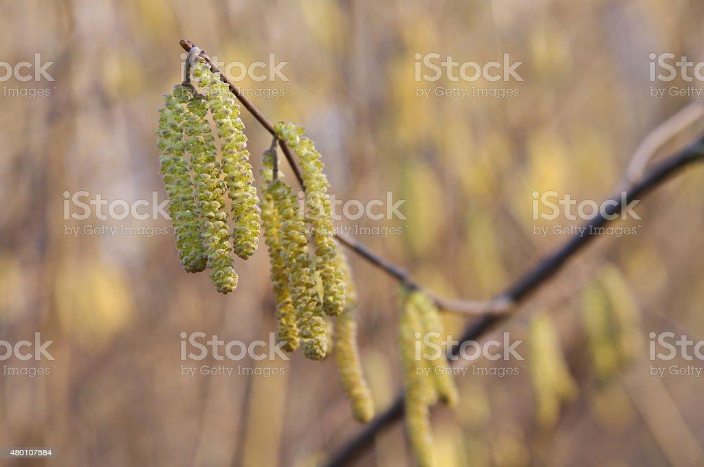 Birch catkins in spring stock photo