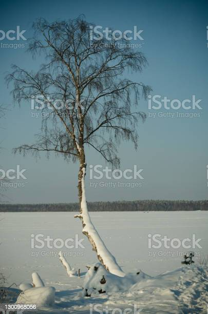 Photo of Birch covered with snow on the shore of a frozen lake.