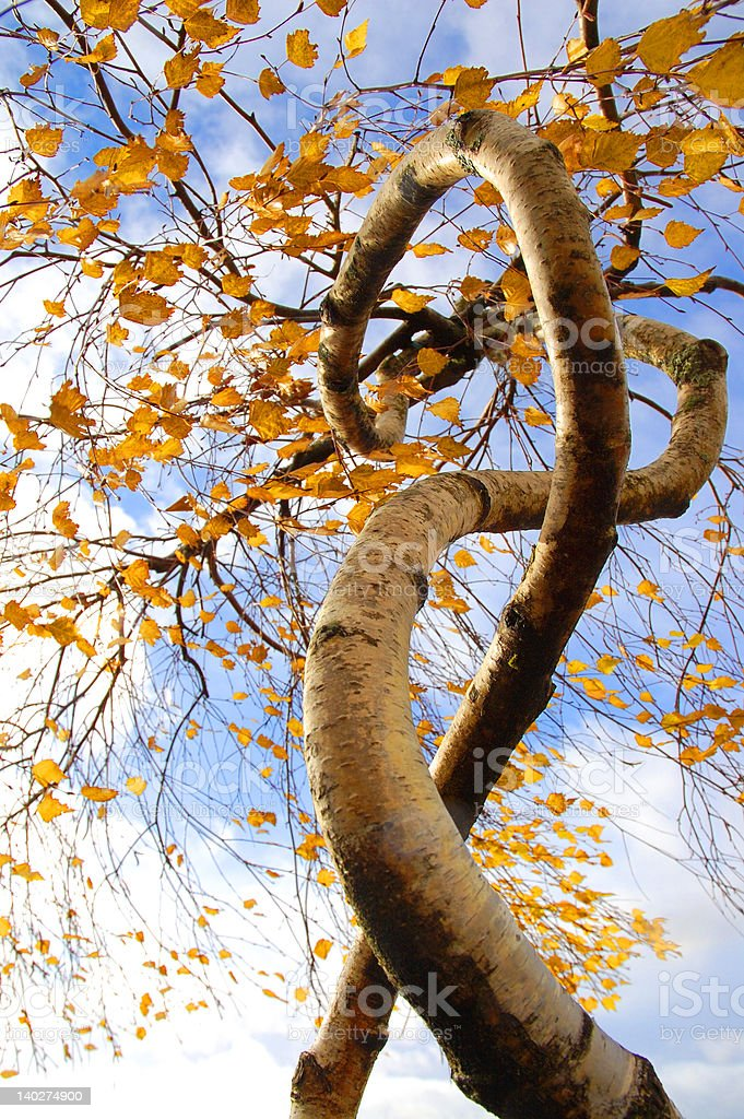 Birch Entwined royalty-free stock photo