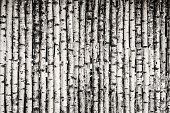 Birch Fence Background