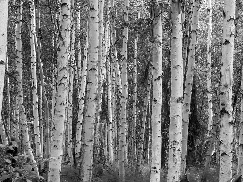 istock Birch forest abstract 680286816
