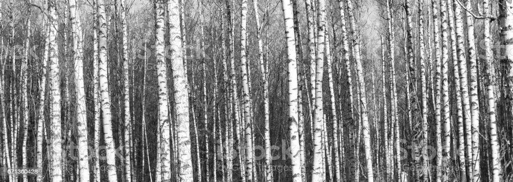 birch forest, black-white photo - foto de stock