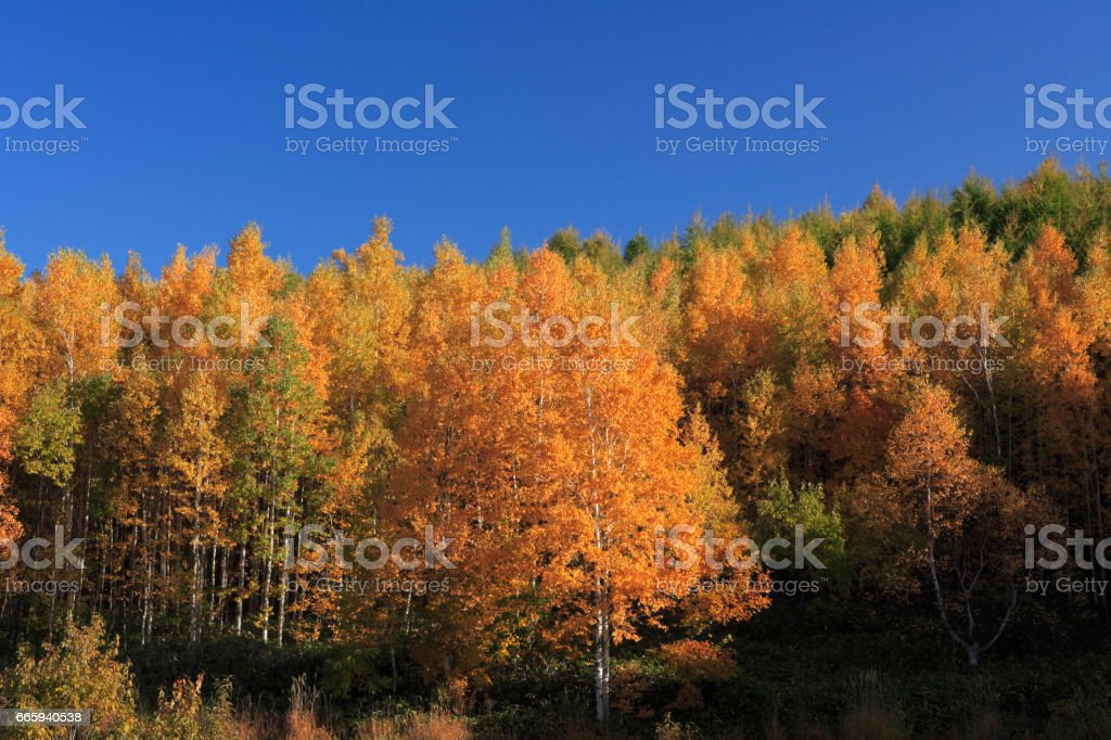 Birch forest in autumn foto stock royalty-free