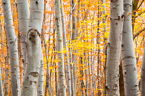 istock Birch forest in autumn with vibrant yellow leaves 626565618