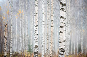 Birch forest in fog. Autumn view. Focus on foreground tree trunk.