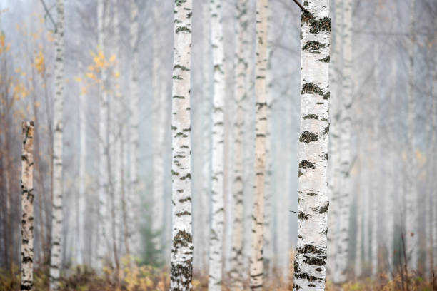 Birch forest in fog. Autumn view. Focus on foreground tree trunk. stock photo