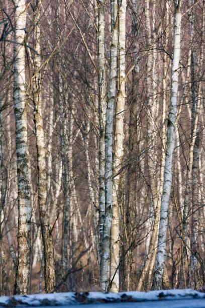 Birch forest in late autumn