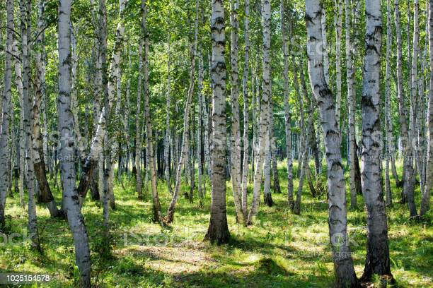 Photo of Birch forest in spring