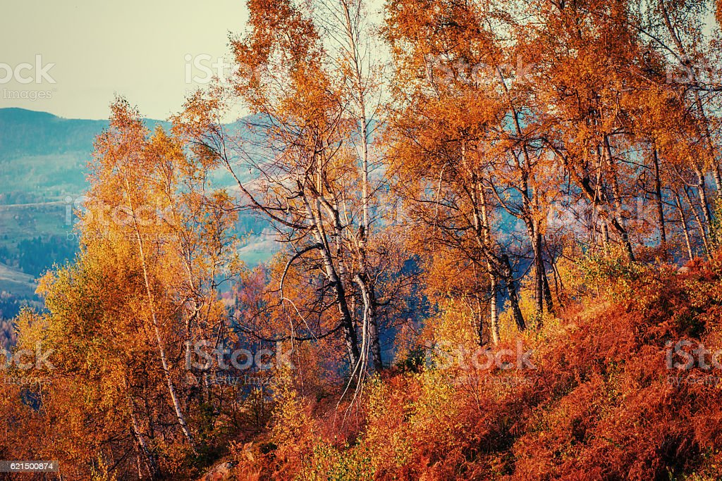 birch forest in sunny afternoon while autumn season. foto stock royalty-free