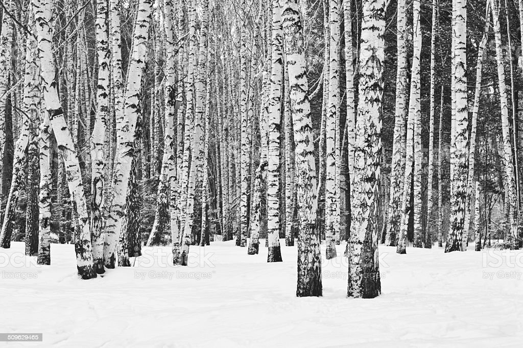 Birch forest in winter stock photo