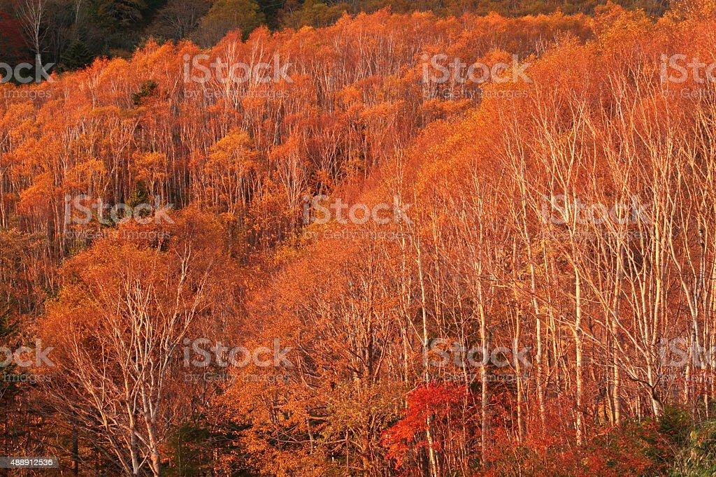 樺の森の夕暮れ ストックフォト