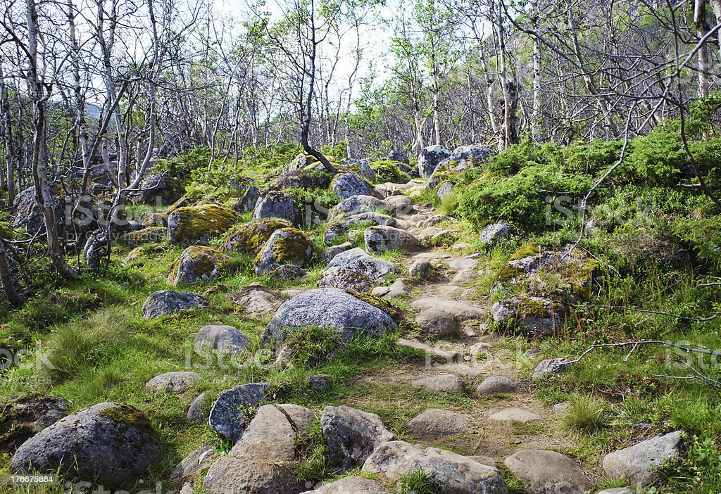 Birch Forest Path royalty-free stock photo
