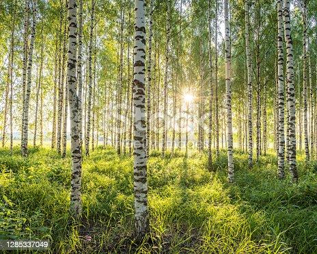 istock Birch forest 1285337049