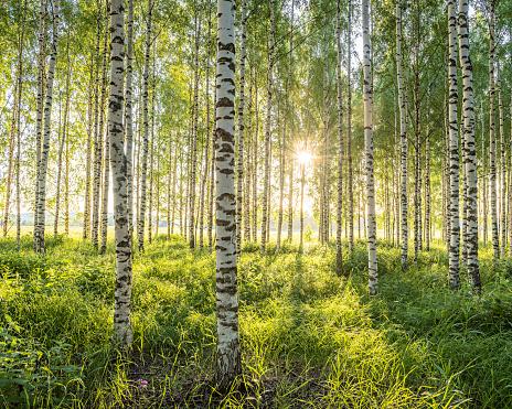 Björkskog i solnedgång
