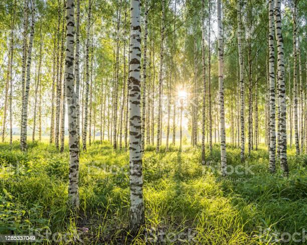Photo of Birch forest