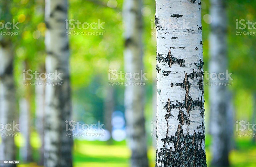 Bosque de abedul - foto de stock