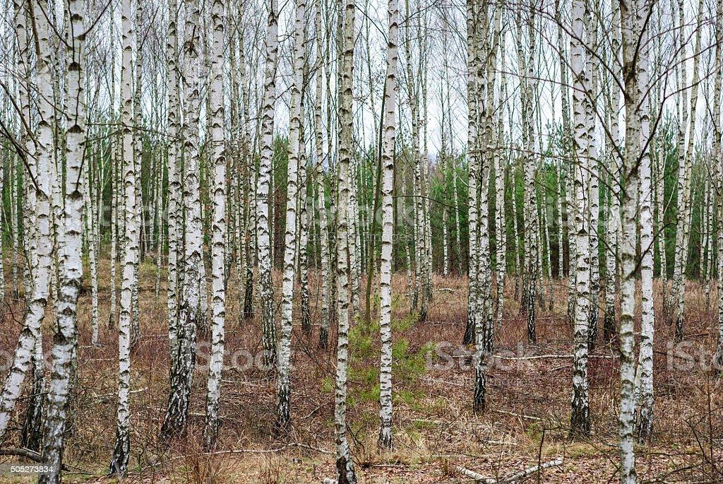 樺の森 ロイヤリティフリーストックフォト