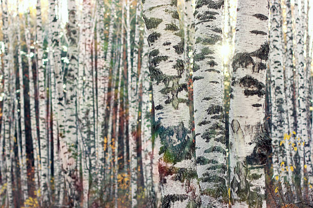 Birch forest. Sunny forest background. stock photo