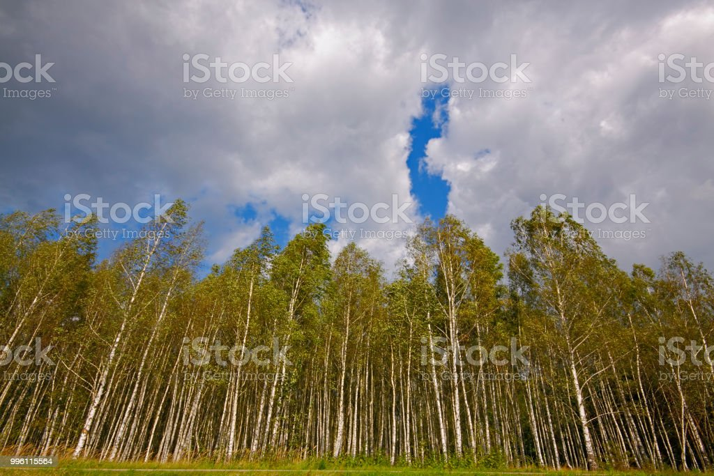 Birch forest under cloudy sky stock photo