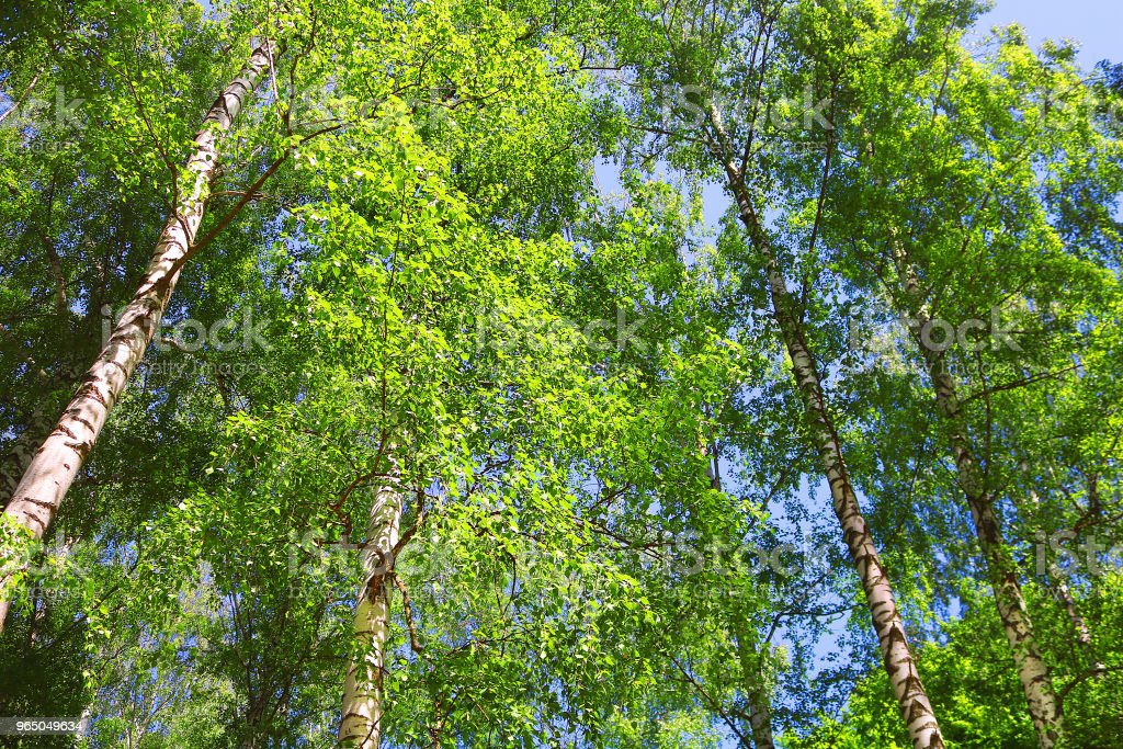 Birch forest with green foliage in the spring royalty-free stock photo