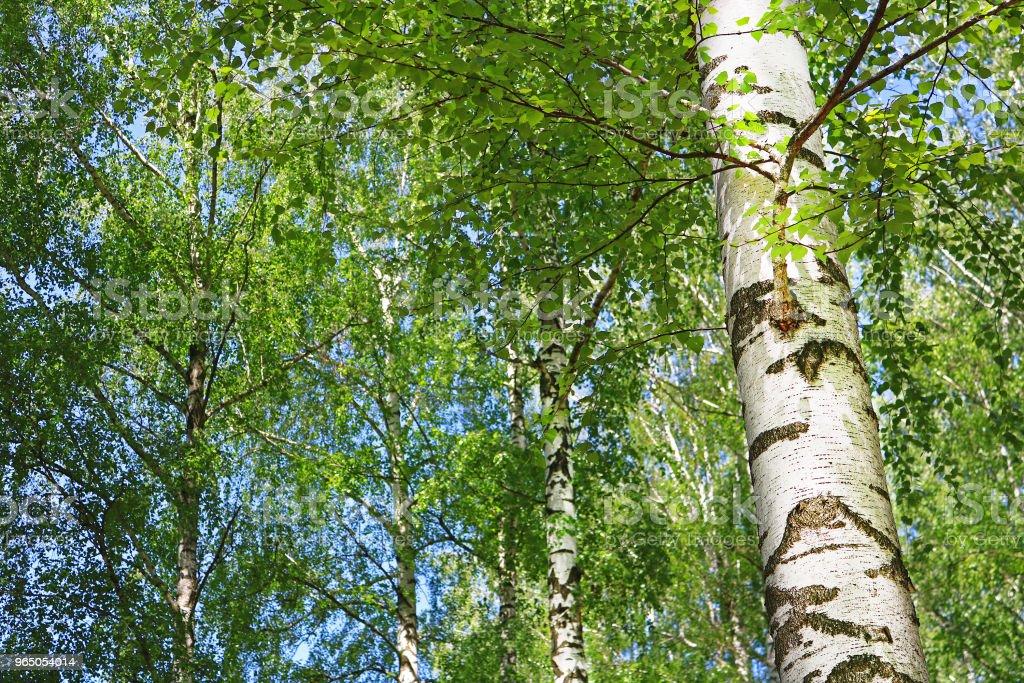 Birch forest with green foliage in the spring zbiór zdjęć royalty-free