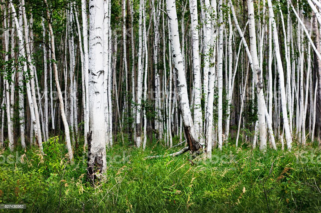 Birch forest with green grass. White and green nature. Beautiful stock photo